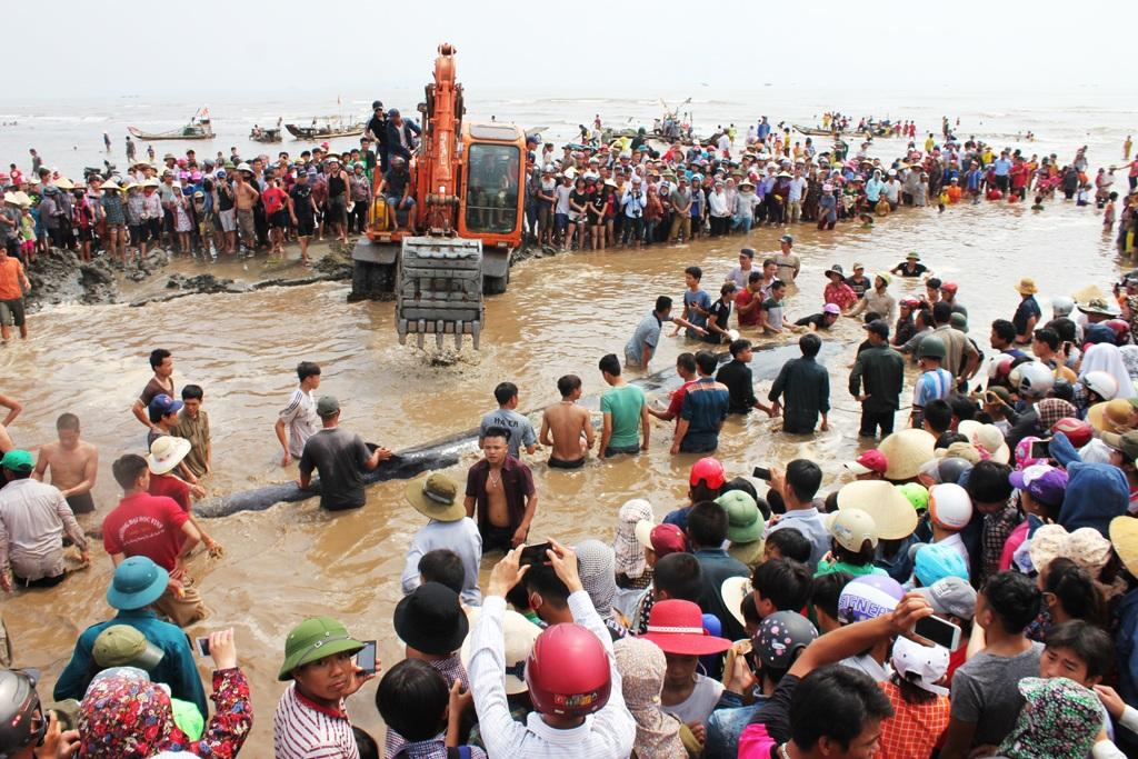3 máy múc cùng hàng trăm người dân tham gia giải cứu cá voi nặng hơn 10 tấn mắc kẹt trên bãi biển xã Diễn Thịnh (Diễn Châu, Nghệ An). Hàng nghìn người dân hiếu kỳ kéo đến chật bãi biển để xem cuộc giải cứu lớn nhất từ trước tới nay (Ảnh: Hoàng Lam)