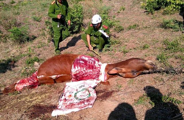 Người dân hai huyện miền núi Sơn Hòa và Sông Hinh (tỉnh Phú Yên) hoang mang khi một tháng trở lại đây đã xảy ra 6 vụ trộm bò. Kẻ trộm chỉ chặt lấy đùi, còn các bộ phận khác thì bỏ lại (Ảnh: TTXVN)