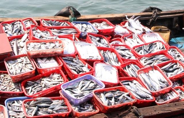 Qua kiểm nghiệm 30 tấn cá nục thu mua ngay sau thời điểm cá chết, Sở Y tế tỉnh Quảng Trị đã phát hiện hàm lượng Phenol, là chất cực độc tuyệt đối cấm không có trong thực phẩm. Hiện tỉnh Quảng Trị đang tiến hành xác minh số hải sản còn tồn đọng tại các kho đông lạnh ở thị trấn Cửa Tùng (Ảnh: Đăng Đức)