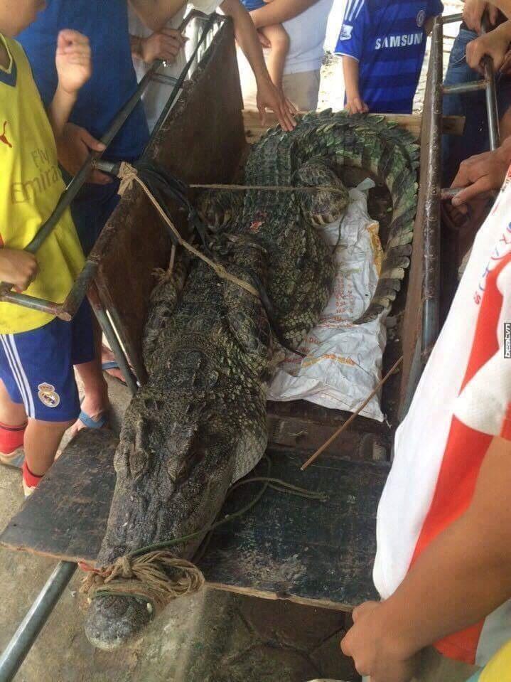 Một người đàn ông ở huyện Đông Anh – Hà Nội đang dùng kích điện để bắt tép tại đầm nước gần nhà thì vô tình lại bắt được 1 con cá sấu dài khoảng 3m, nặng hơn 70kg (Ảnh người dân cung cấp)