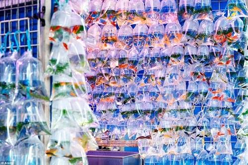Nét khác lạ của khu chợ ở chỗ cá cảnh được treo sẵn trên túi rất tiện lợi.