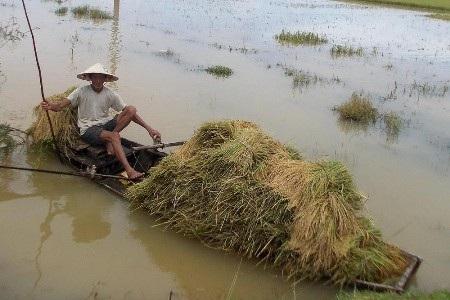 Gặt chạy lụt