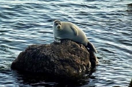 Loài hải cẩuđặc biệtNerpa Baikal, chỉ sinh sống ở Hồ này