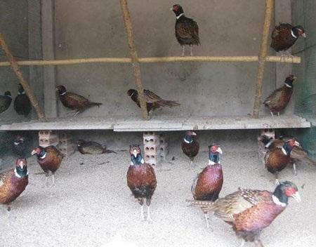 Chim trĩ được người dân nuôi tại nhà