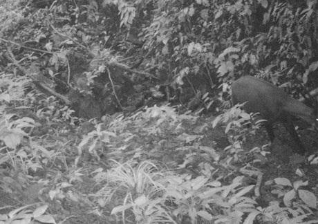 Bất ngờ phát hiện sao la tại Việt Nam sau 15 năm vắng bóng