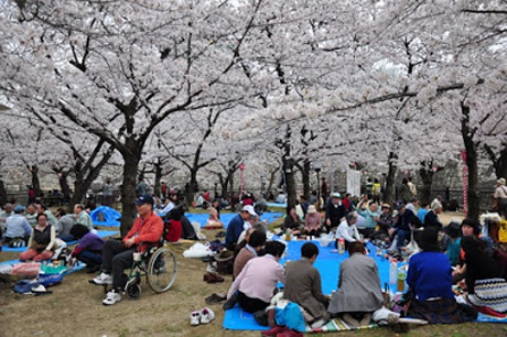 Thời gian hoa anh đào nở rộ là lúc diễn ra lễ hội hoa Hanami