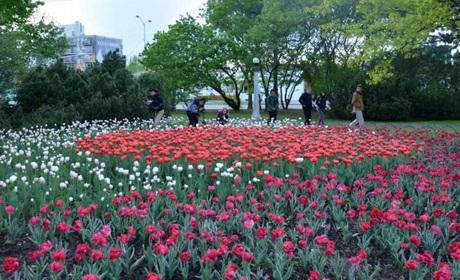 Hoa tulip đã trở thành loài hoa chính thức của