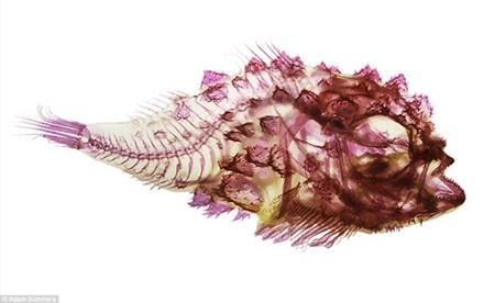 Loài cá Scalyhead Sculpin sau khi được nhuộm màu