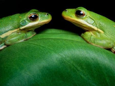 """Hai chú ếch xanh đang """"mặt đối mặt"""" trên một chiếc lá ở vùng đồng bằng sông Atchafalaya"""