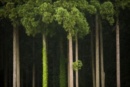 Những tán lá xanh trên ngọn cây tuyết tùng ở khu rừng nhỏ của Nhật Bản