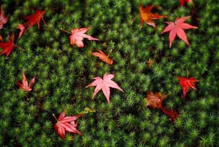 Lác đác những chiếc lá thu đỏ, tô điểm cho thảm rêu xanh ở trong một khu vườn Nhật Bản