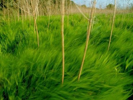 Đồng cỏ xanh đang uốn mình theo gió ở Mỹ