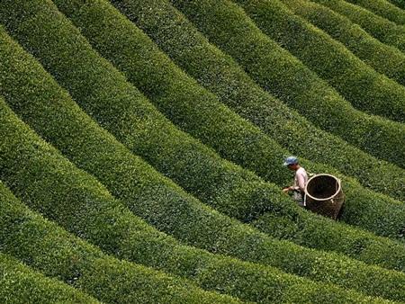 Một người nông dân Nhật Bản đang hái những chiếc lá chè tươi ở vùng núi