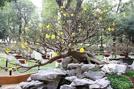 Một cây mai cảnh đẹp và quý