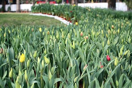 Khóm hoa Tulip dù không quá nổi bật nhưng cũng thu hút được sự chú ý của nhiều người