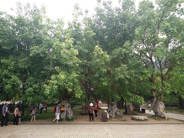 100 cây Bồ đề được triết từ Ấn Độ đưa về trồng tại chùa Bái Đính.