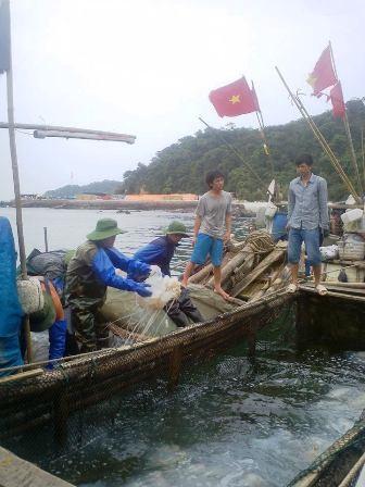 Mỗi vụ đánh bắt, một hộ gia đình thu nhập trăm triệu đồng từ bán sứa