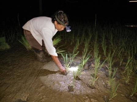 Để tránh nắng, nông dân ở Thanh Hóa ra đồng cấy lúa vào ban đêm
