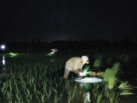 Những ánh đèn pin của của người đi cấy lúa đêm tràn ngập khắp cánh đồng
