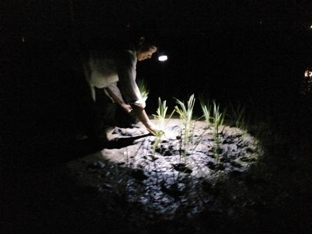 Ánh sáng le lói của chiếc đèn pin đeo trên đầu vừa đủ thấy cây lúa để cấy