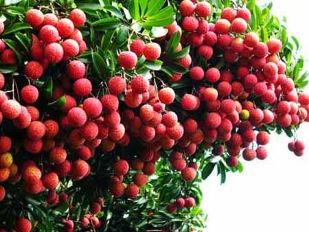 Công ty Ocewa hỗ trợ nông dân Bắc Giang tiêu thụ vải thiều
