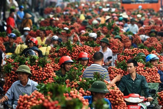Vải thiều Việt Nam vẫn đang tìm lối ra xuất khẩu khi 90% phụ thuộc vào thị trường Trung Quốc