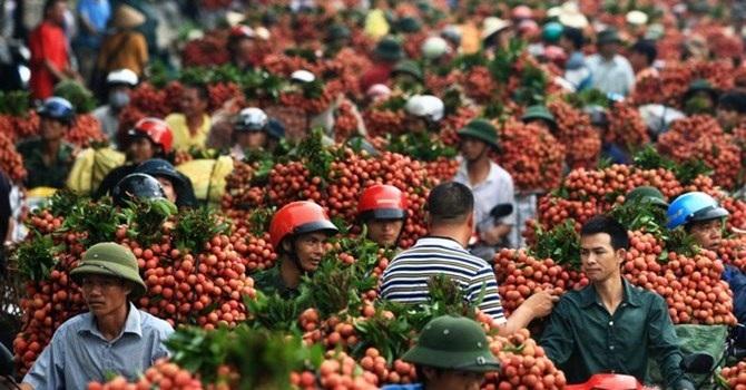 90% quả vải Việt Nam xuất khẩu được tiêu thụ tại Trung Quốc