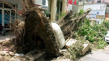 Một cây cổ thụ bật tung gốc trên vỉa hè đường Trần Hưng Đạo.