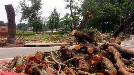 Ba cây xà cừ lớn ở ngã tư Quang Trung - Nguyễn Du bị giông lốc hạ gục.