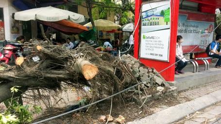 Cây xanh cạnh nhà chờ xe buýt trên phố Thái Hà bị bật gốc.