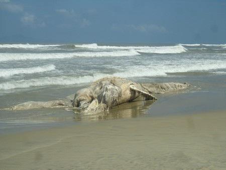 Xác cá voi bị phân hủy dạt vào bờ ngày mùng 1 Tết