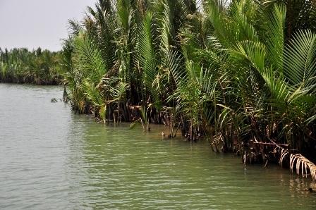 Dừa nước chỉ phổ biến ở khu vực Nam Bộ nhưng TP Hội An cũng có khu rừng dừa cho du khách tham quan