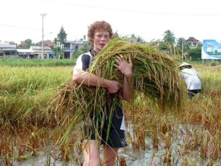 Mang lúa đến máy đập