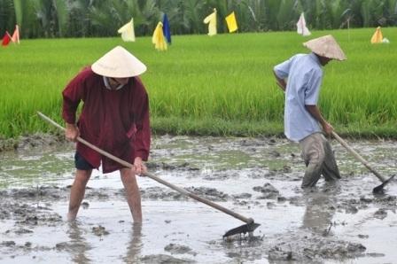 Sau khi cày và bừa là công việc trang cho ruộng bằng phẳng