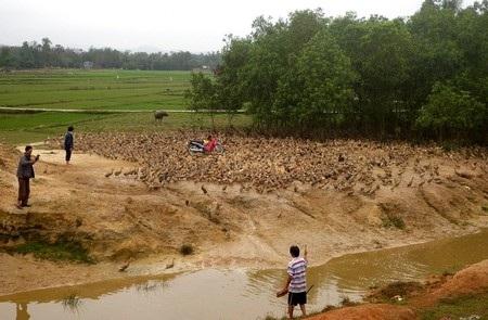 Nuôi vịt thả đồng tại Quảng Nam