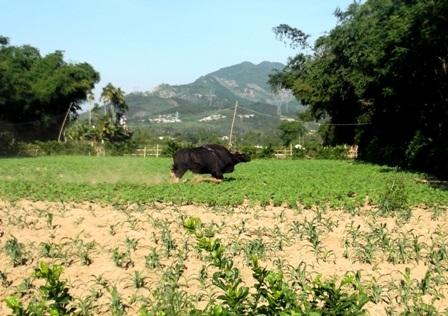 Con bò tót xuống khu vực hoa màu của người dân xã Đại Lãnh, huyện Đại Lộc