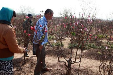 Chủ vườn đang cắt những cành đào nở sớm cho khách