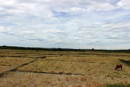 Nhiều diện tích trở thành bãi chăn thả gia súc