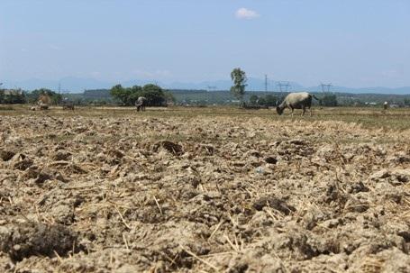 Nguồn thức ăn, nước uống của gia súc cũng bị cạn kiệt