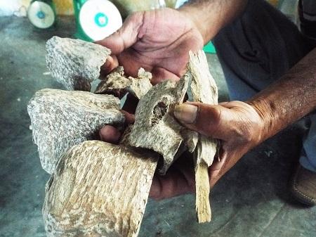 Trầm ở Vạn Ninh, Khánh Hòa sau khi được soi từ lõi cây dó bầu.