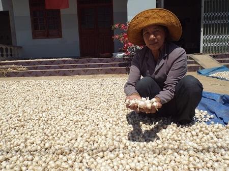 """Dân Khánh Hòa """"khóc ròng"""" vì tỏi mất mùa, mất giá."""