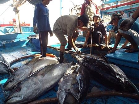 Ngư dân Khánh Hòa nhập cá ngừ đại dương vào cảng sau chuyến đánh bắt dài ngày trên biển.