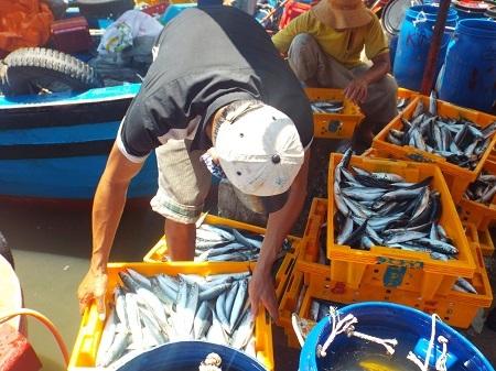 Bình quân mỗi ngày có từ 70-100 tấn cá nục qua cảng Hòn Rớ (TP Nha Trang).
