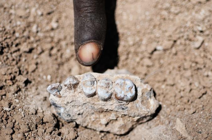 Hóa thạch tìm được là phần hàm trên của một chủng linh trưởng có niên đại từ rất lâu trước đó.