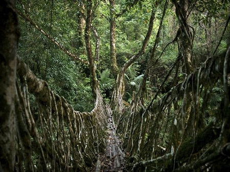Một cây cầu rễ cây sống sâu trong rừng gần Meghalaya, Ấn Độ