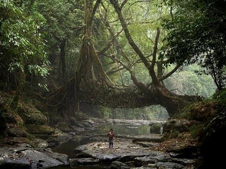 Hình ảnh cây cầu trong rừng sau không phải được xây dựng mà đang tự mình phát triển