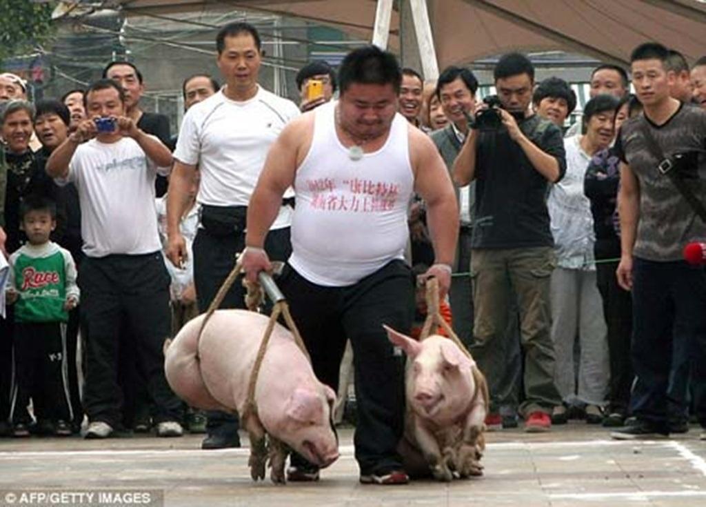 Hai chú lợn nặng chừng 45 kg được buộc cẩn thận để các thí sinh xách trên tay