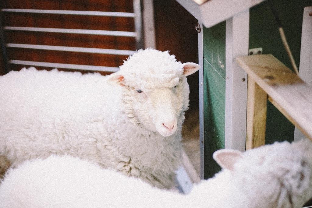 Hai chú cừu có chuồng riêng ngay tại quán