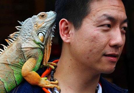 Một con kỳ nhông trên vai người chủ của mình ở Đài Bắc, Đài Loan. (Nguồn Reuters)