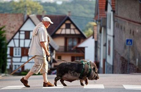 Christophe Lutz ở Strasbourg, Pháp đi bộ cùng chú lợn rừng của ông. (Nguồn: Reuters)